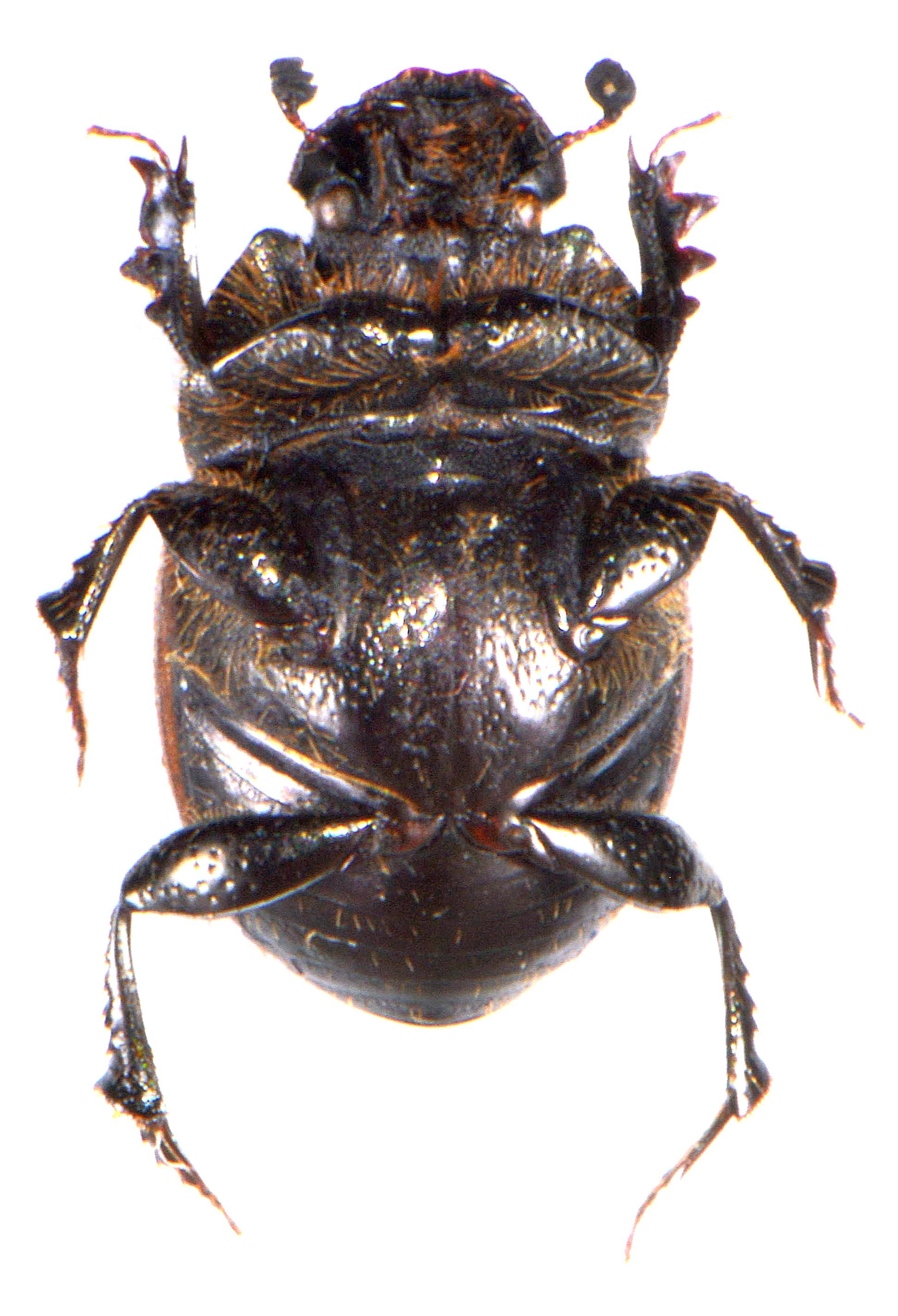 Onthophagus fracticornis 3