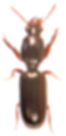 Dyschirius extensus.jpg