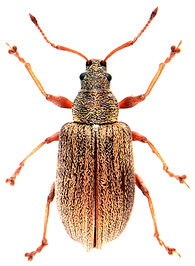 Phyllobius vespertinus 1.jpg