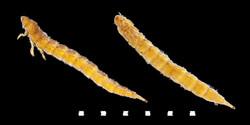 Haliplus ruficollis larvae
