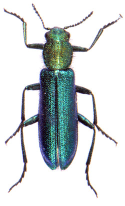 Psilothrix viridicoerulea 1