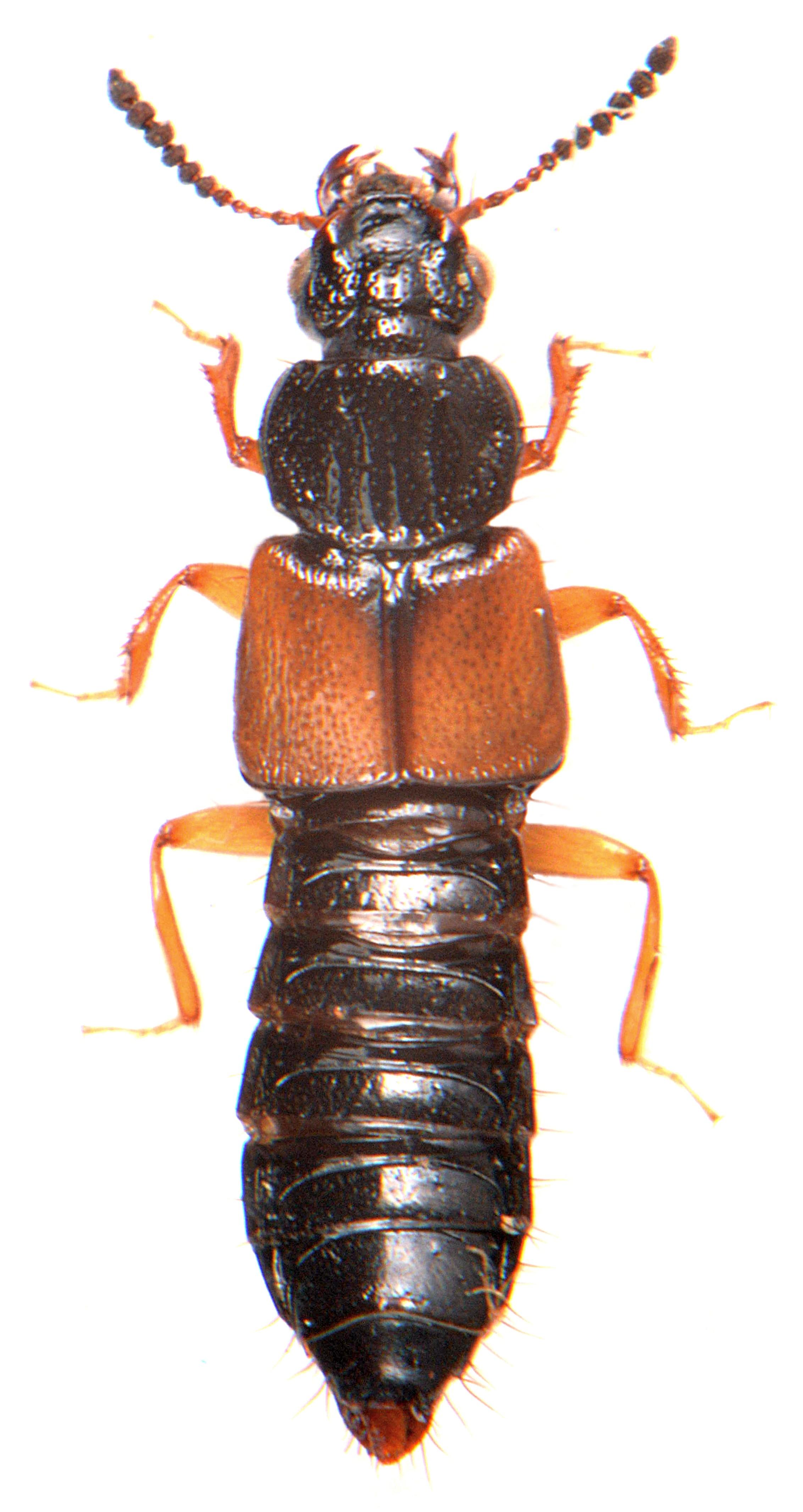 Oxytelus laqueatus 1