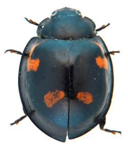 Exochomus quadripustulatus 2