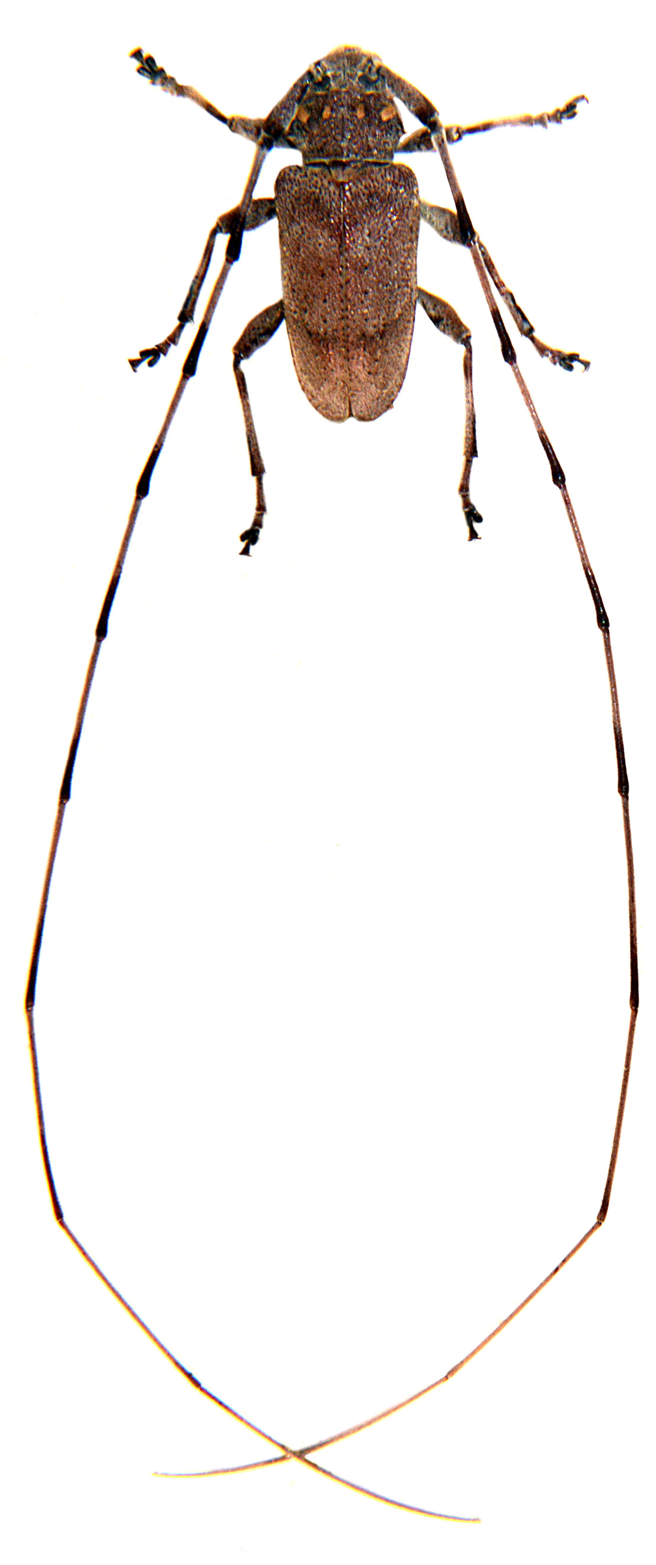 Acanthocinus aedilis 3