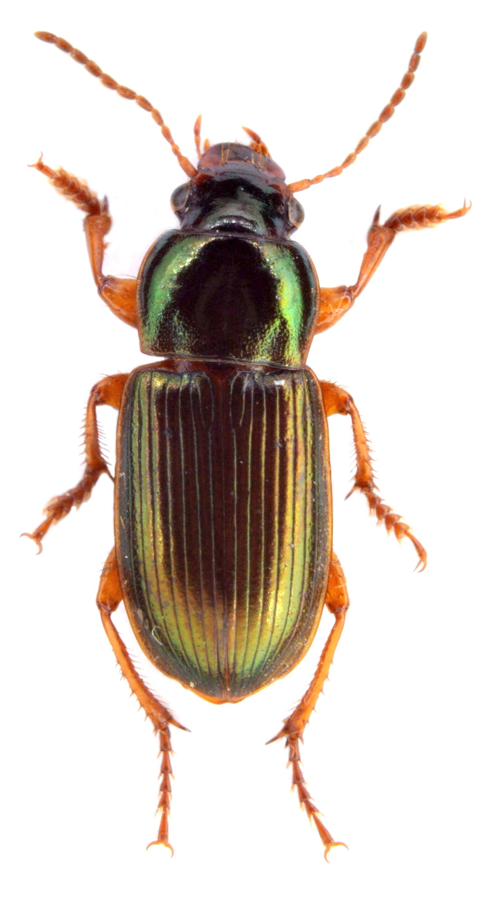 Harpalus affinis 3