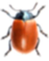 Chrysomela populi 1.jpg