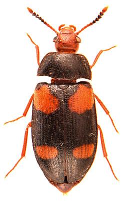 Mycetophagus quadripustulatus 3