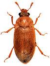 Byturus tomentosus 1.jpg