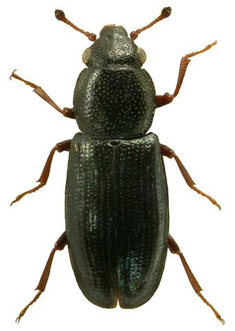 Cyanostolus aeneus