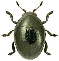 Oomorphus concolor 1LB.jpg