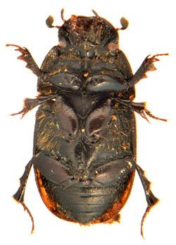 Colobopterus erraticus 3