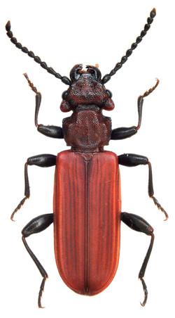 Cucujus cinnaberinus (Slovakia)