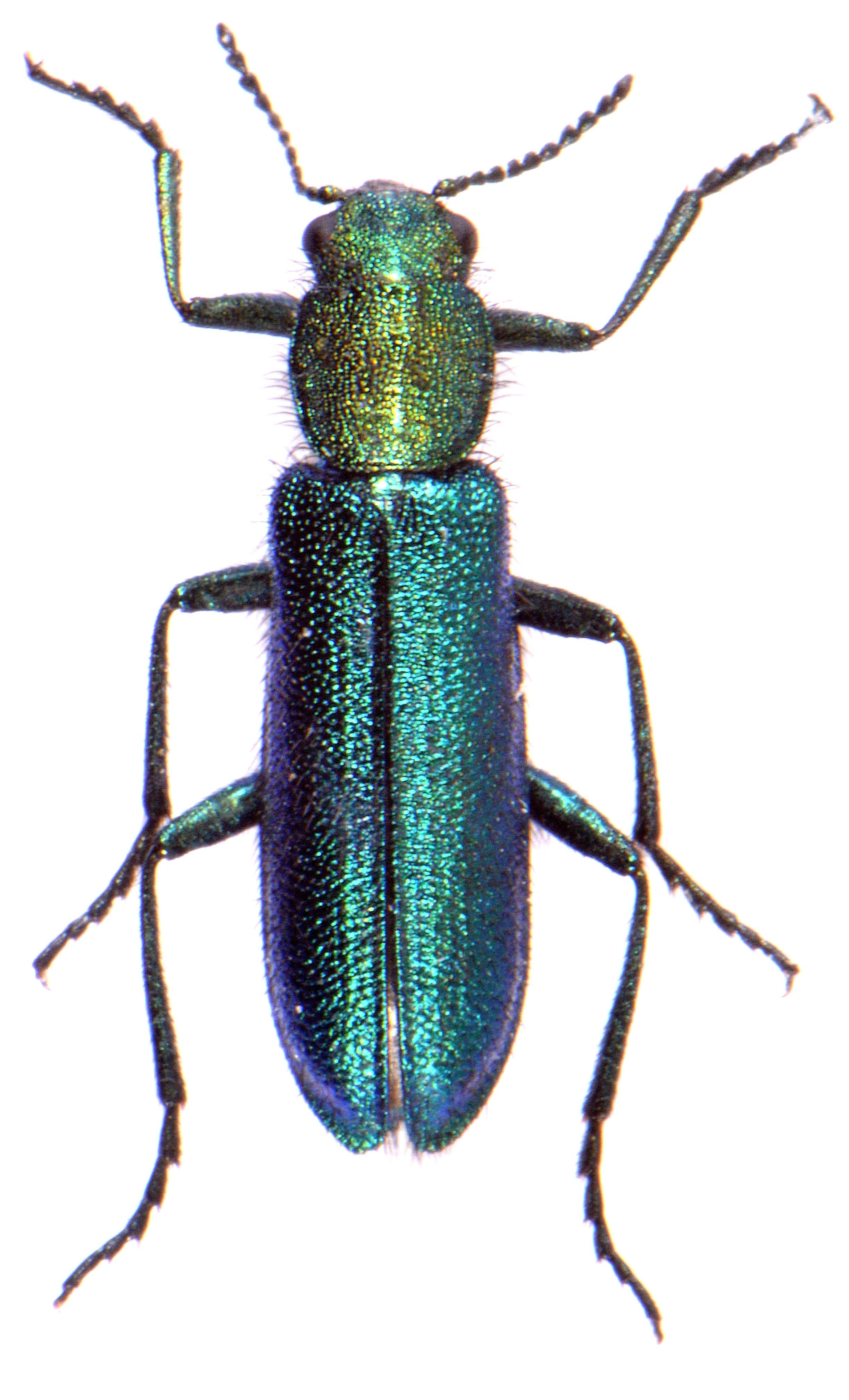 Psilothrix viridicoeruleus