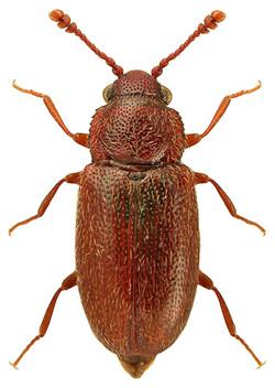 Henoticus serratus 2
