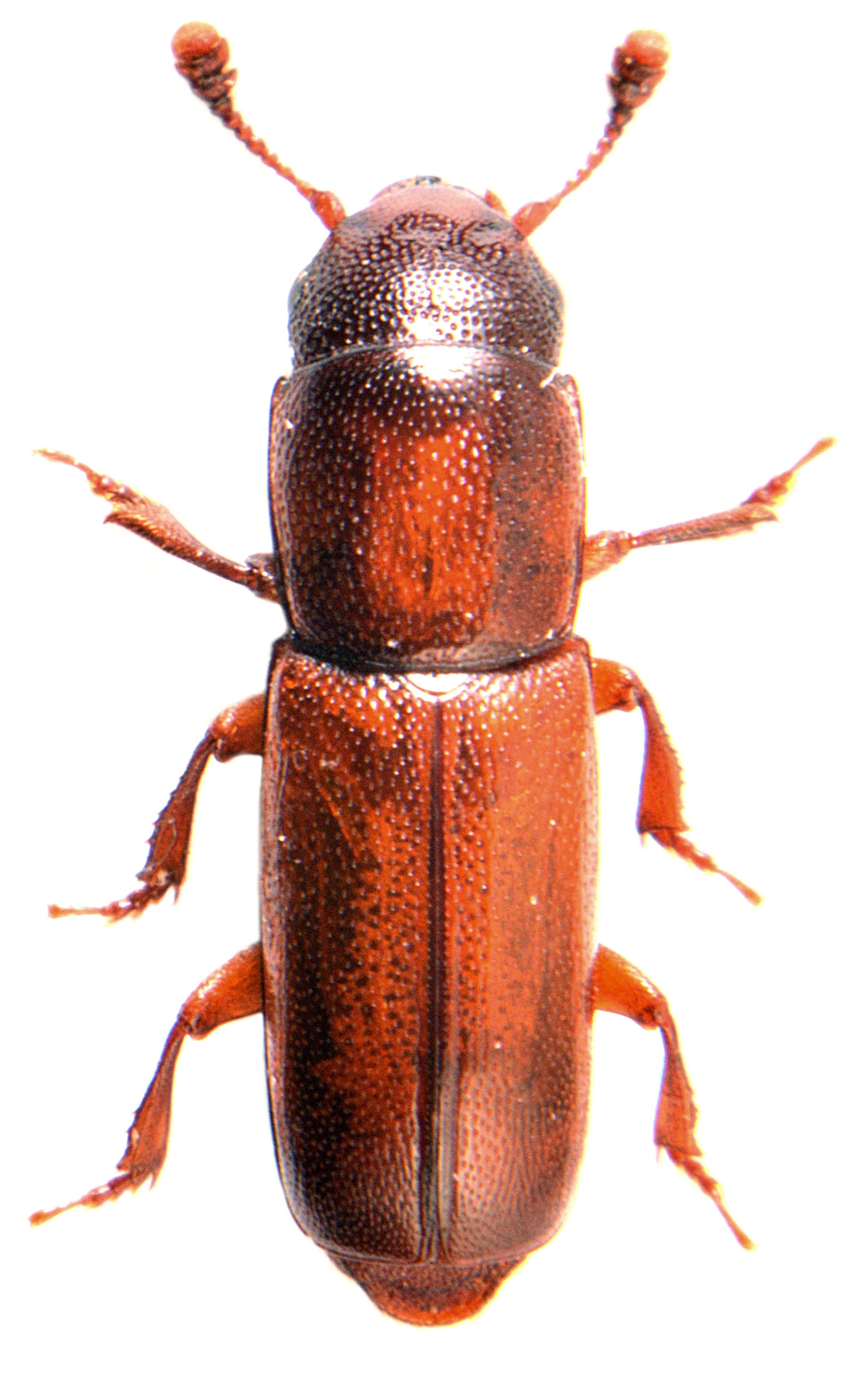 Pityophagus ferrugineus 2