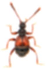 Rybaxis longicornis 1.jpg
