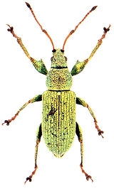 Phyllobius maculicornis 1.jpg