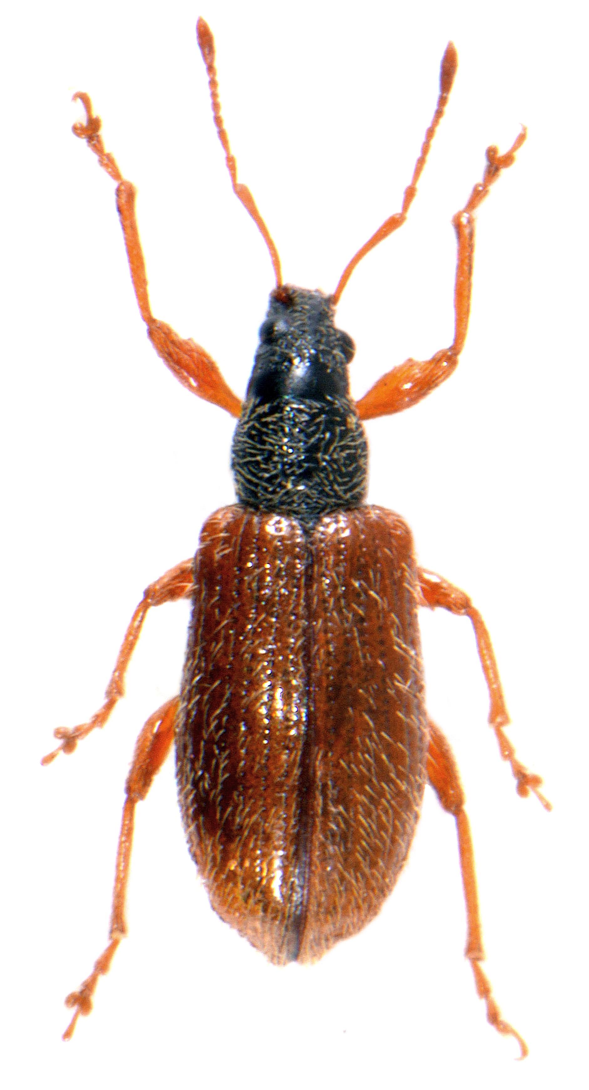 Phyllobius oblongus 1