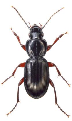 Pterostichus madidus 1