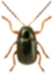 Cryptocephalus querceti.jpg