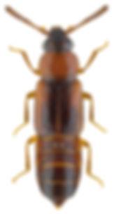 Dropephylla ioptera.jpg