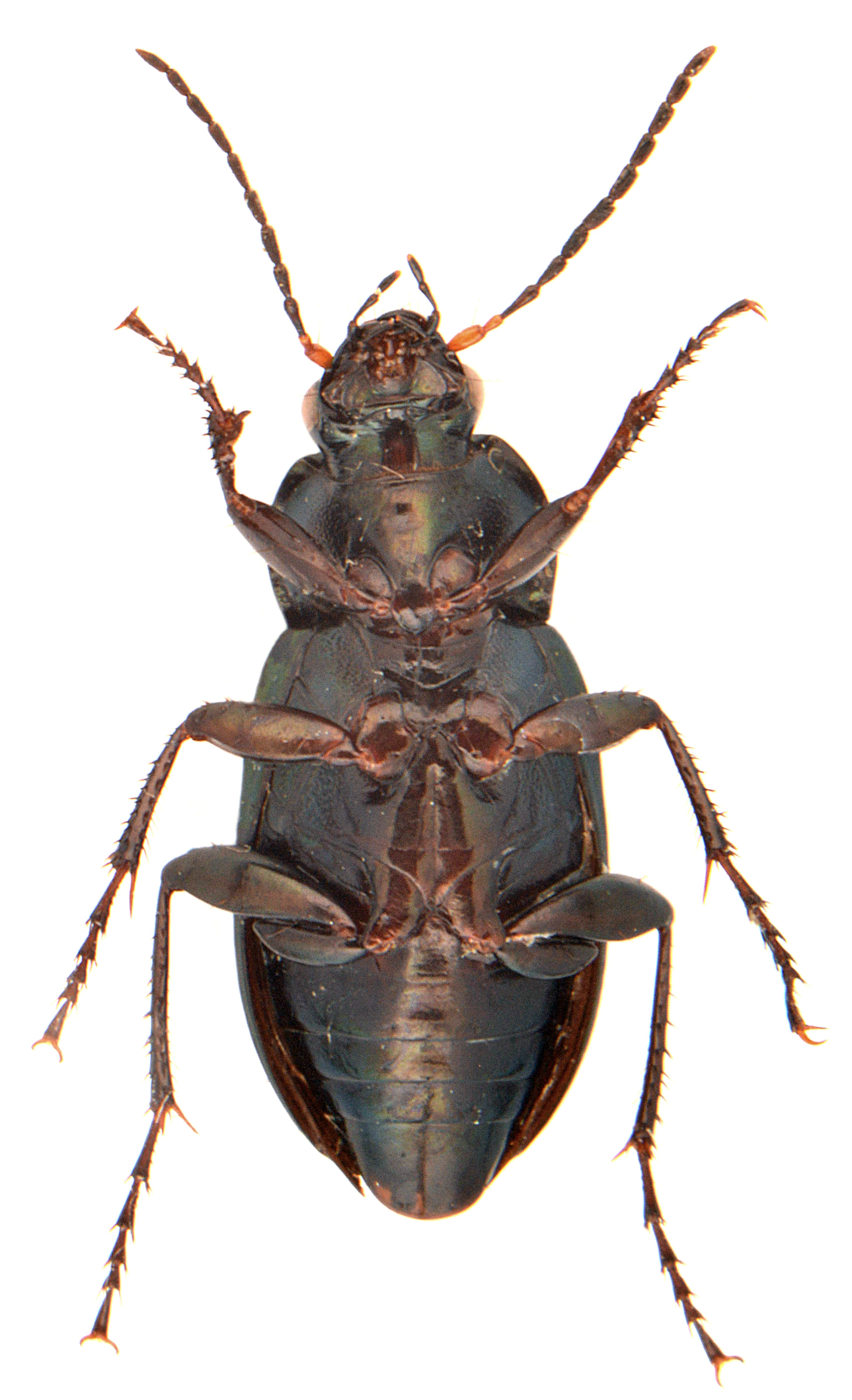 Poecilus cupreus 3