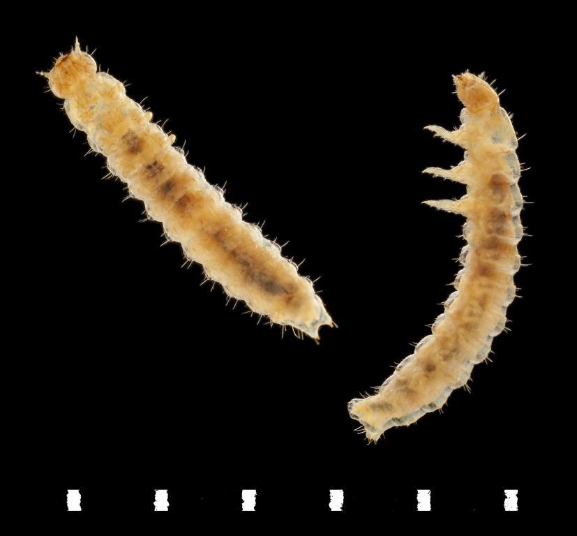Cryptophagus lycoperdi larvae