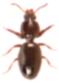 Dyschirius globosus 1.jpg