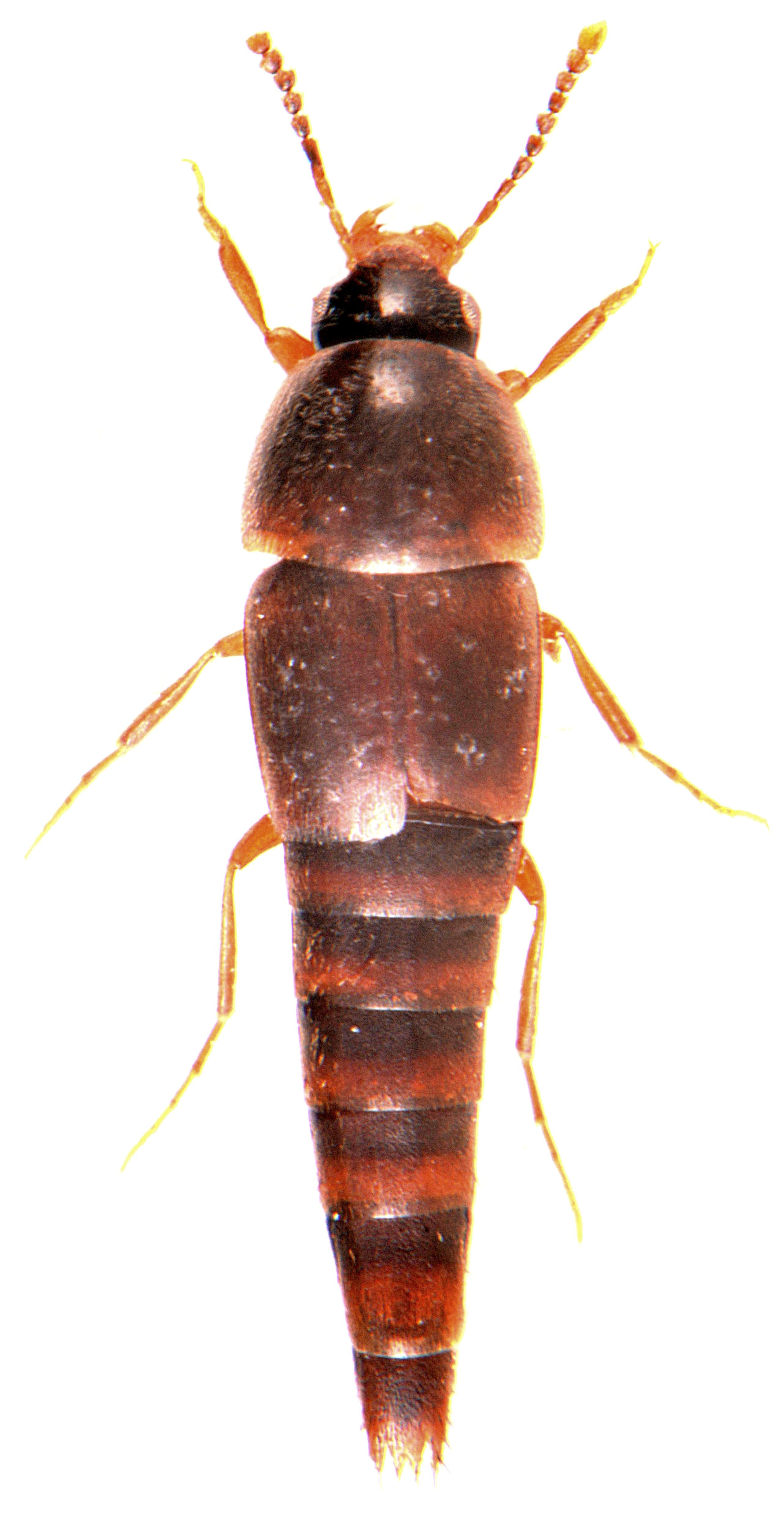 Sepedophilus marshami 3