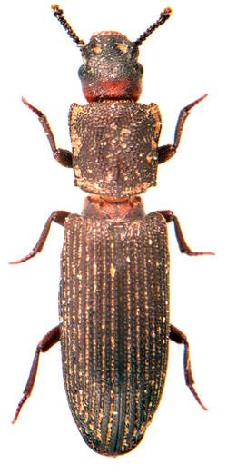 Pycnomerus fuliginosus