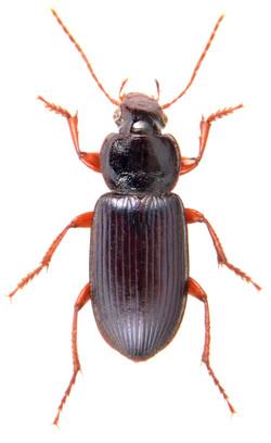 Ophonus ardosiacus 1
