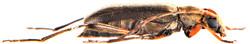 Grammoptera ruficornis 4