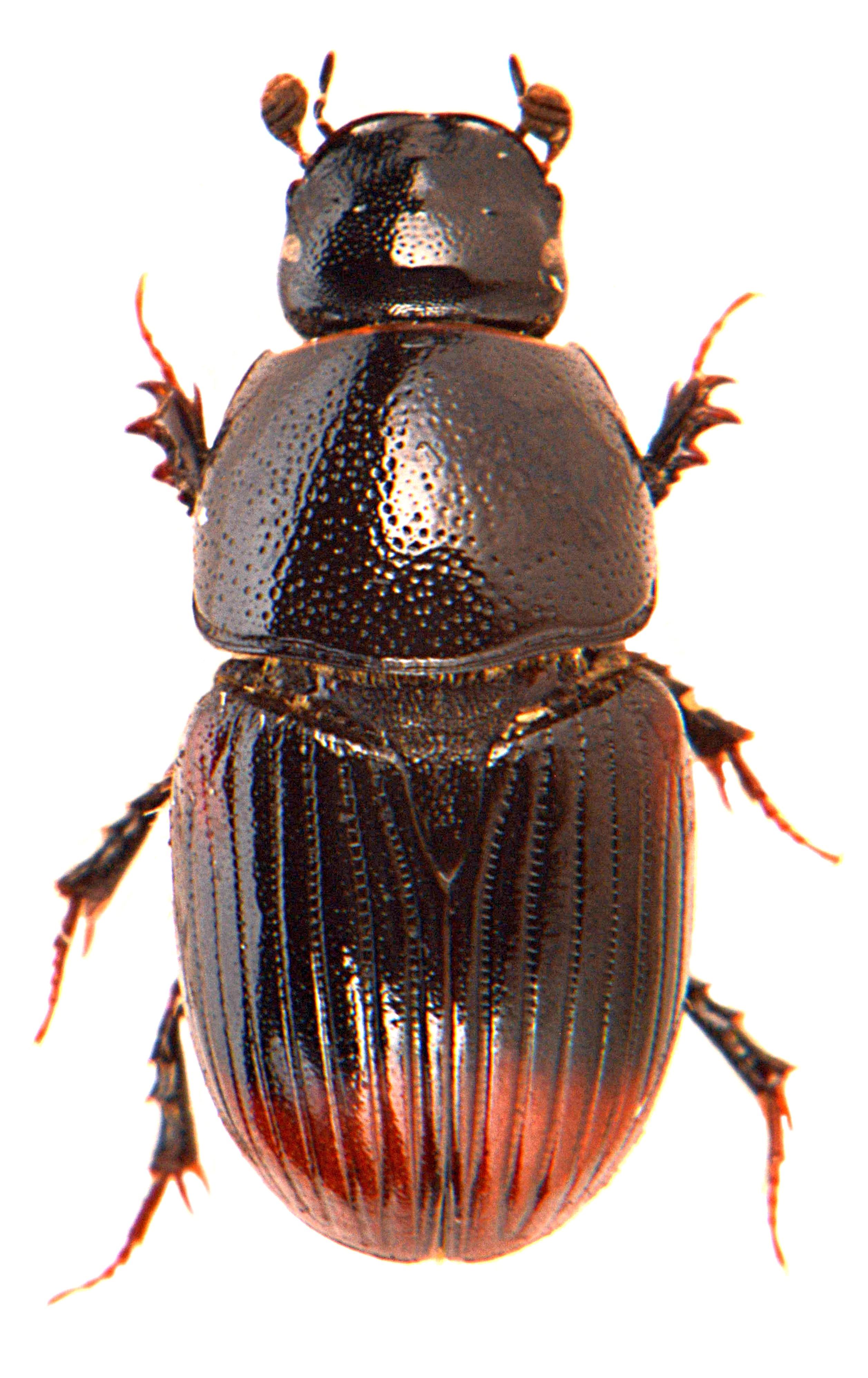 Otophorus haemorrhoidalis 2