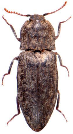 Agrypnus murinus 1