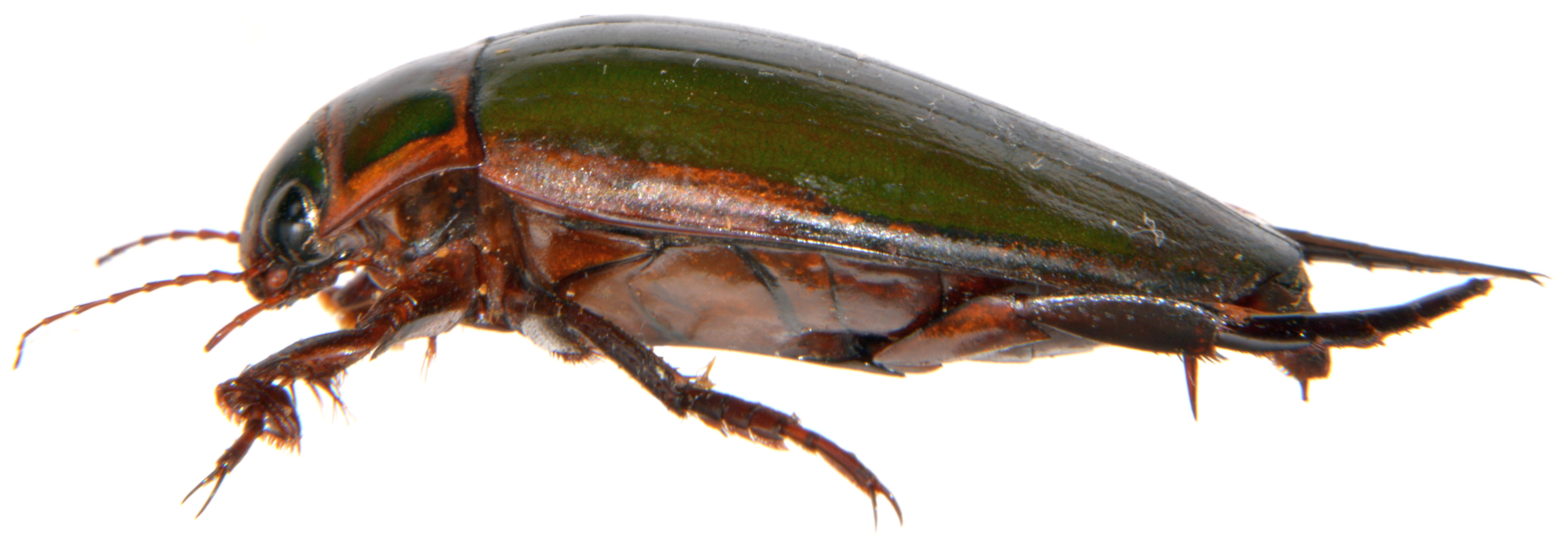Dytiscus marginalis side view