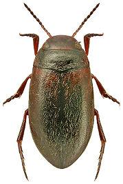 Hydroporus elongatulus.jpg