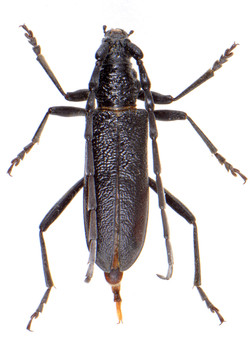 Cerambyx scopolii 1