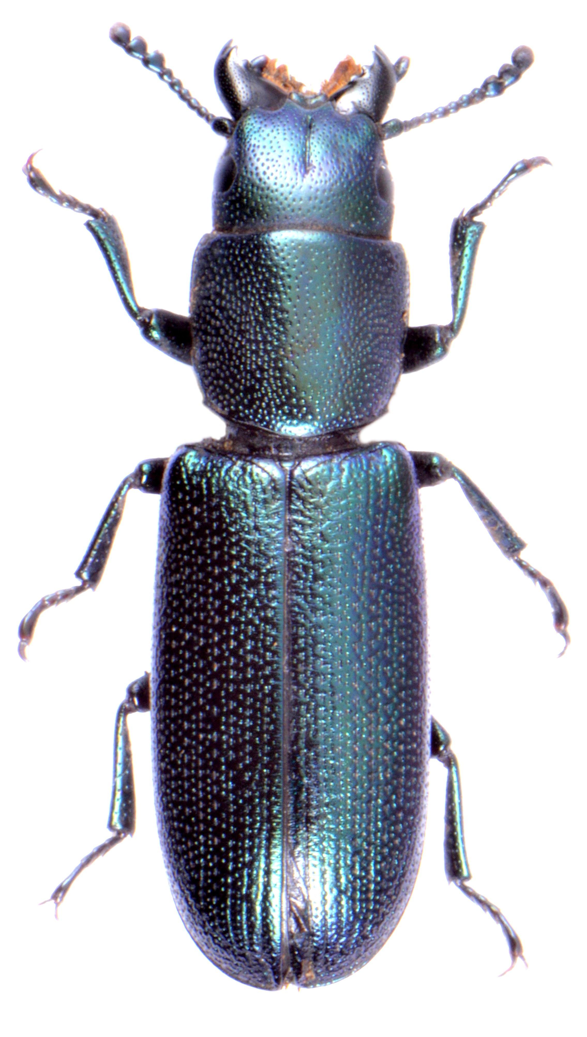 Temnoscheila caerulea (Morocco)