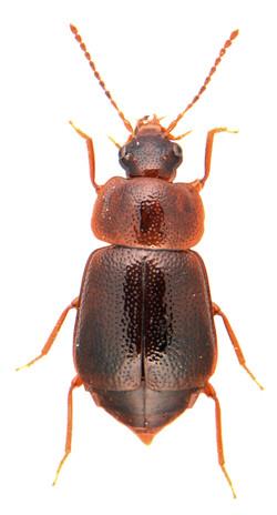 Olophrum piceum 1