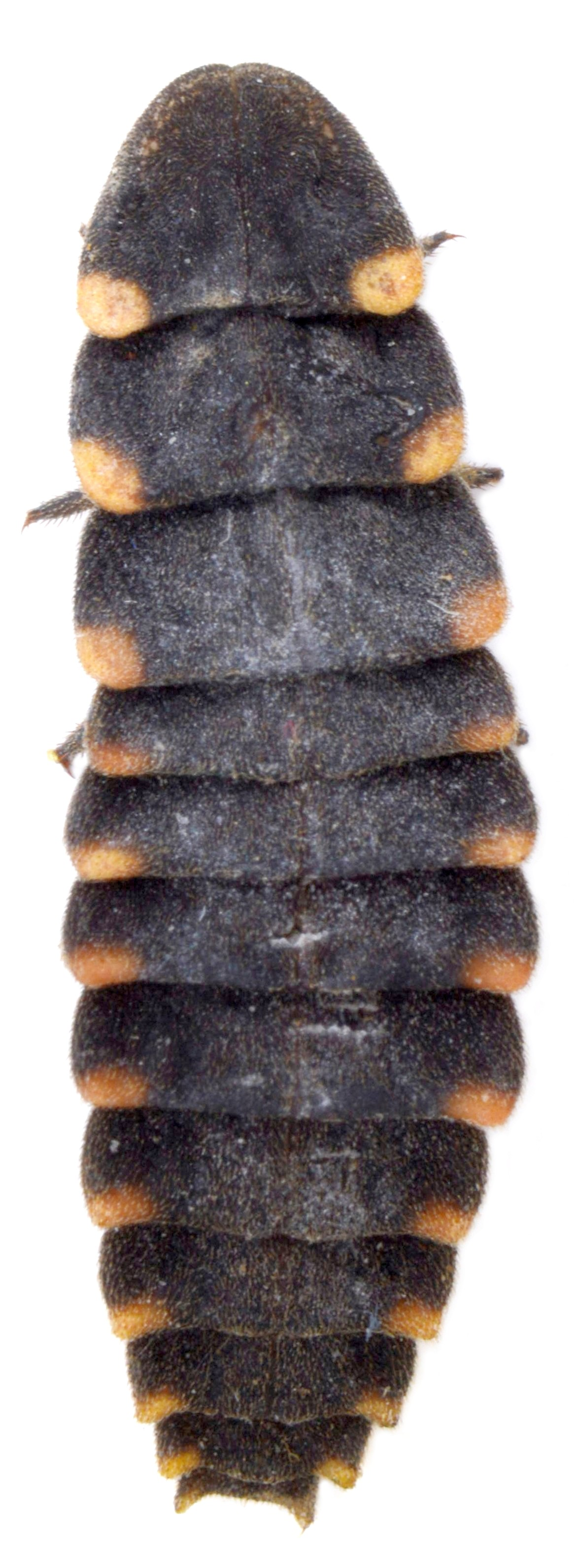 Lampyris noctiluca larva