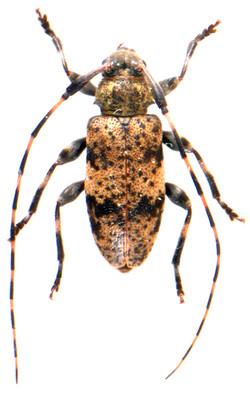 Leiopus nebulosus 3