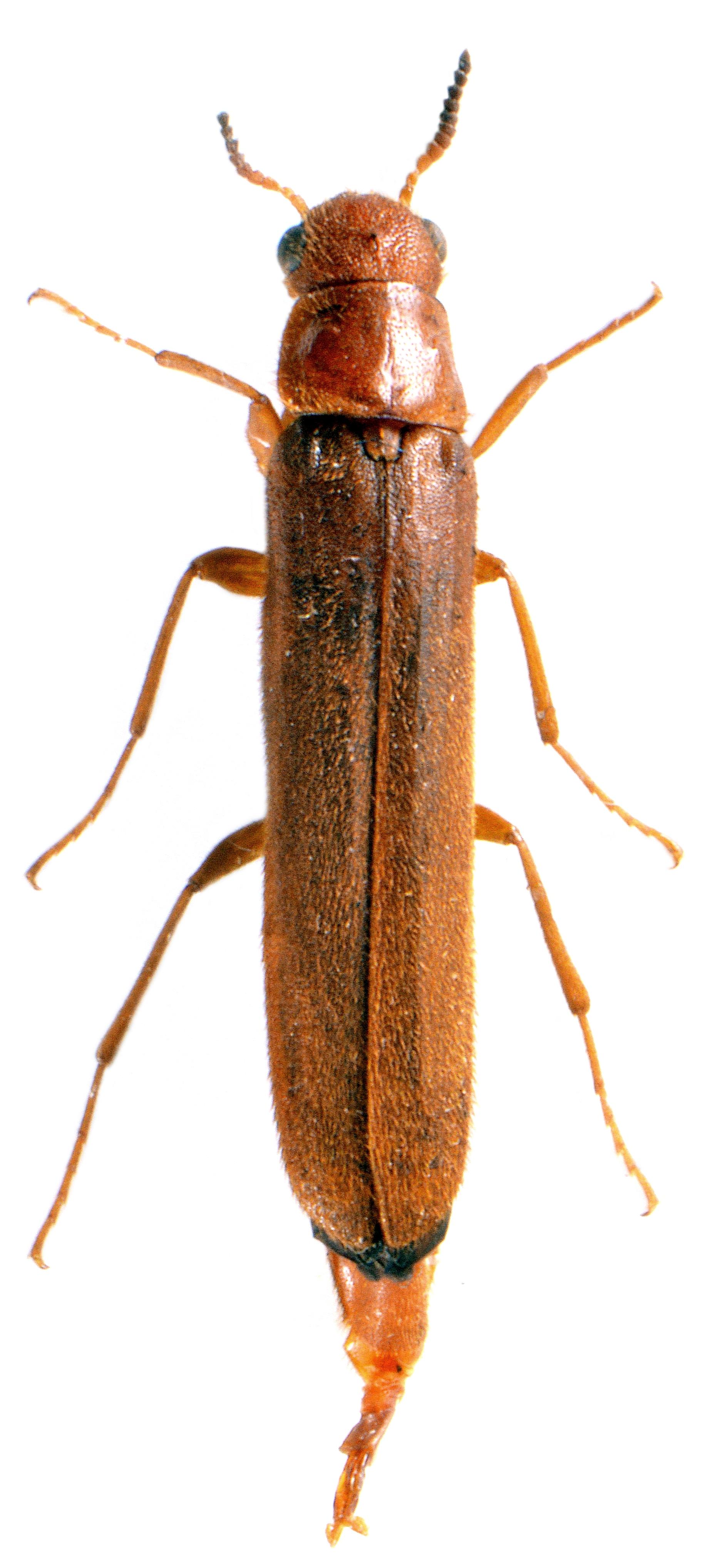 Elateroides dermestoides ♀