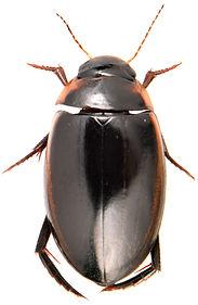 Hydaticus seminiger 2.jpg