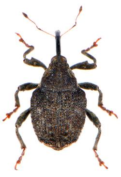 Parathelcus pollinarius 3