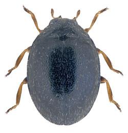 Stethorus pusillus 1
