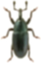 Aulacobaris picicornis.jpg