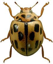 Propylea quatuordecimpunctata 1lb.jpg