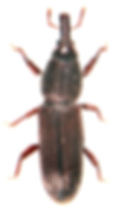 Euophryum confine 2.jpg