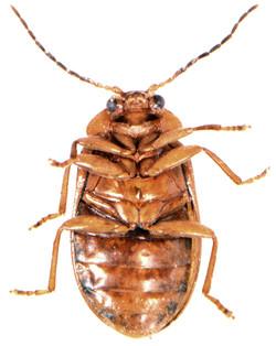 Microcara testacea 3