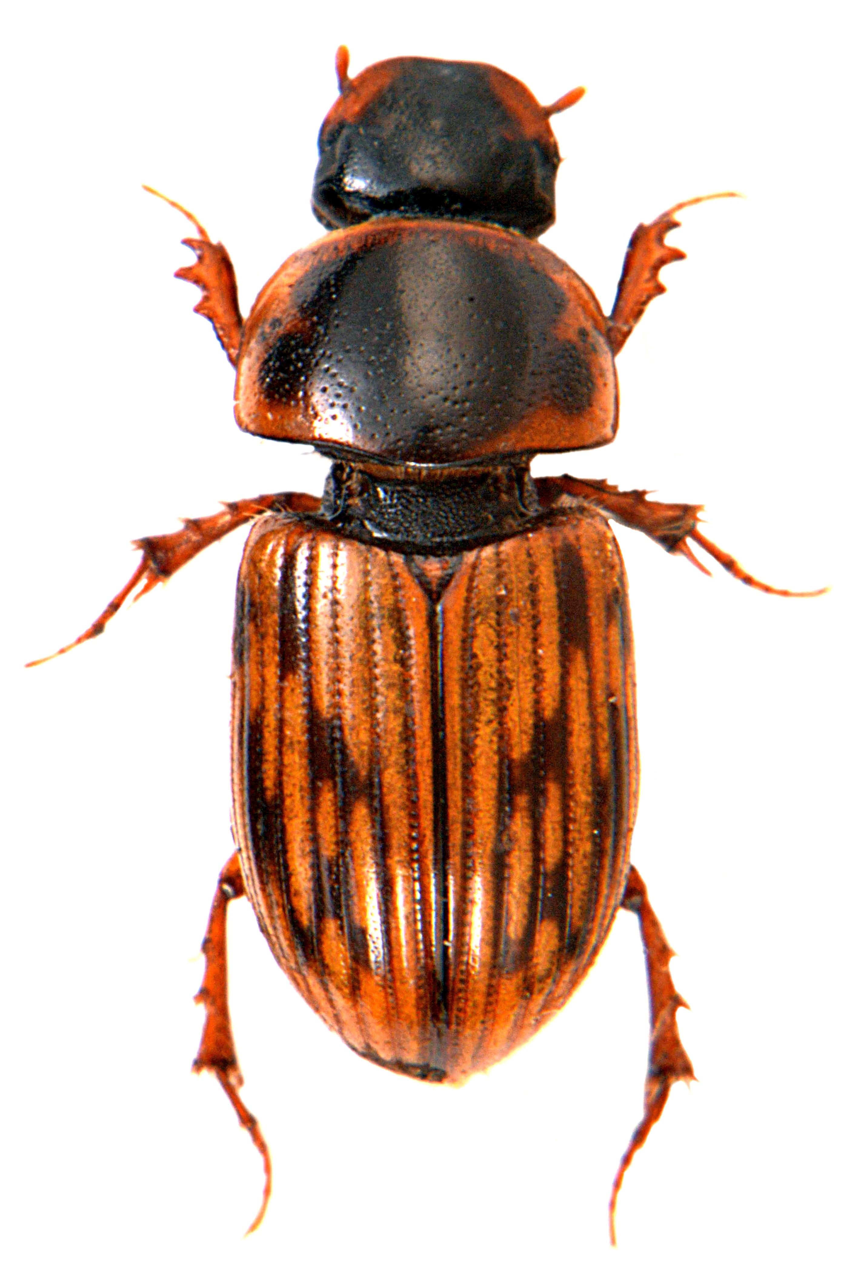 Volinus sticticus 4